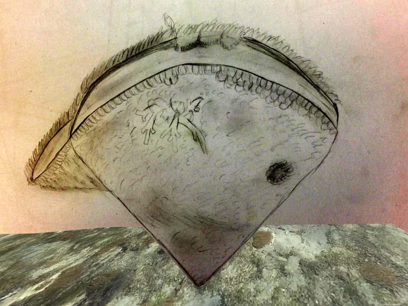steckmuschel-p'